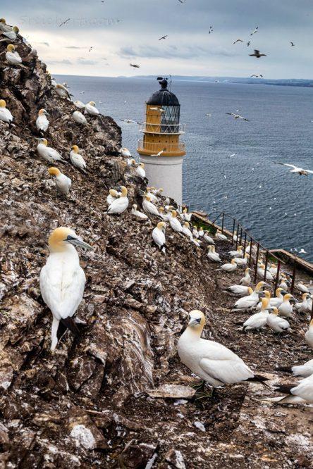 Bass Rock, Schottland