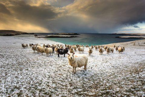 Schafe und Schnee im Süden Shetlands