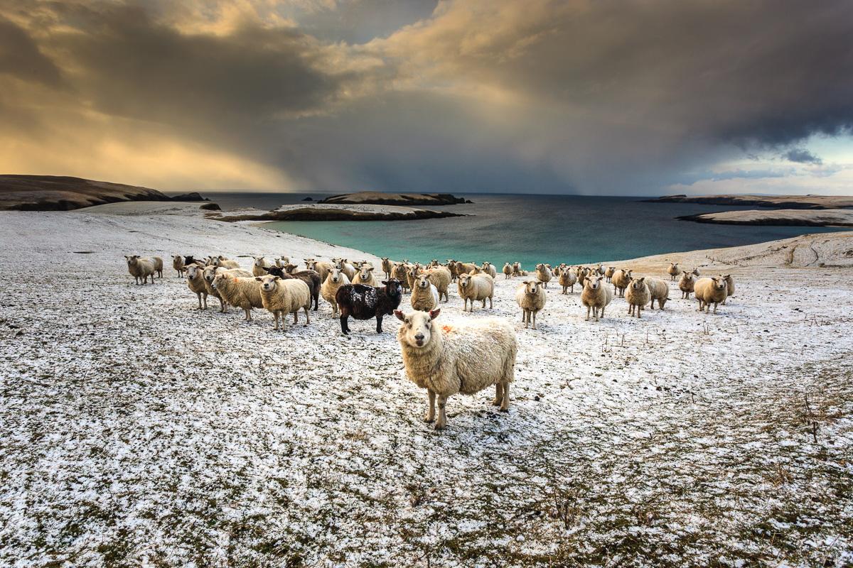 Schafe, Mainland Shetland