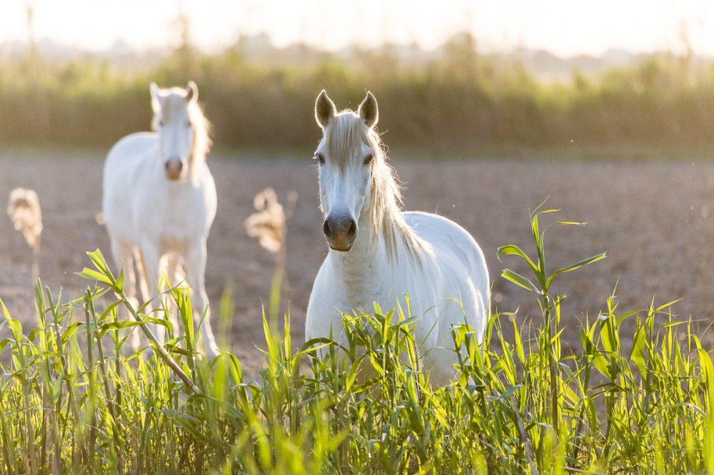 Carmarque Pferde, Frankreich