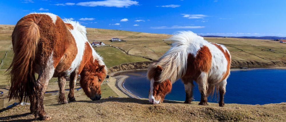 Shetland Ponies über dem Meer, Shetland