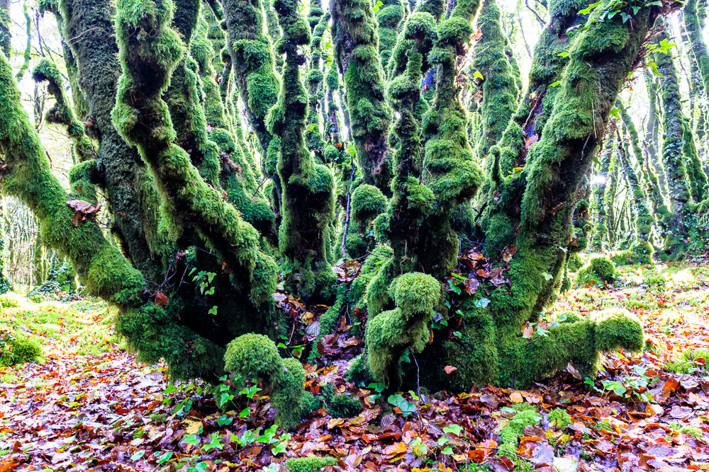 Zauberwald in der Nähe von Locronan, Bretagne