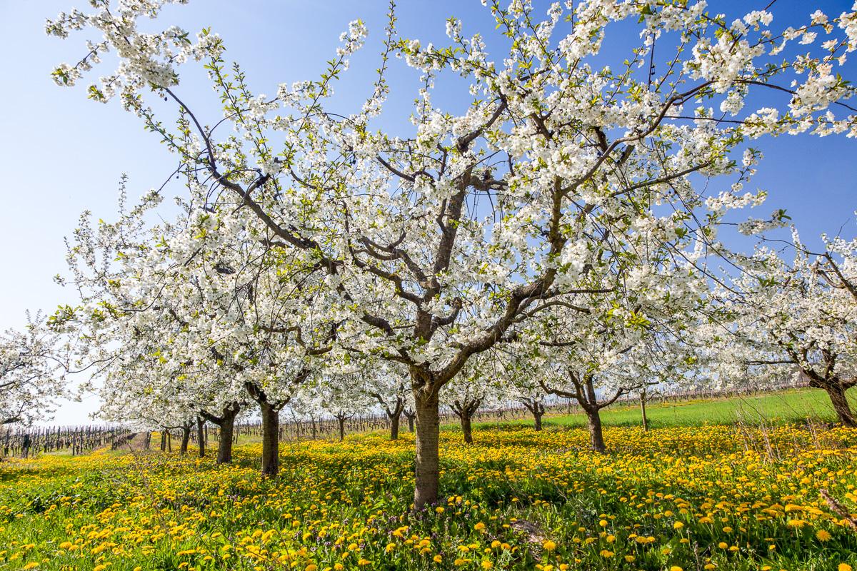 Kirschbaum in Blüte