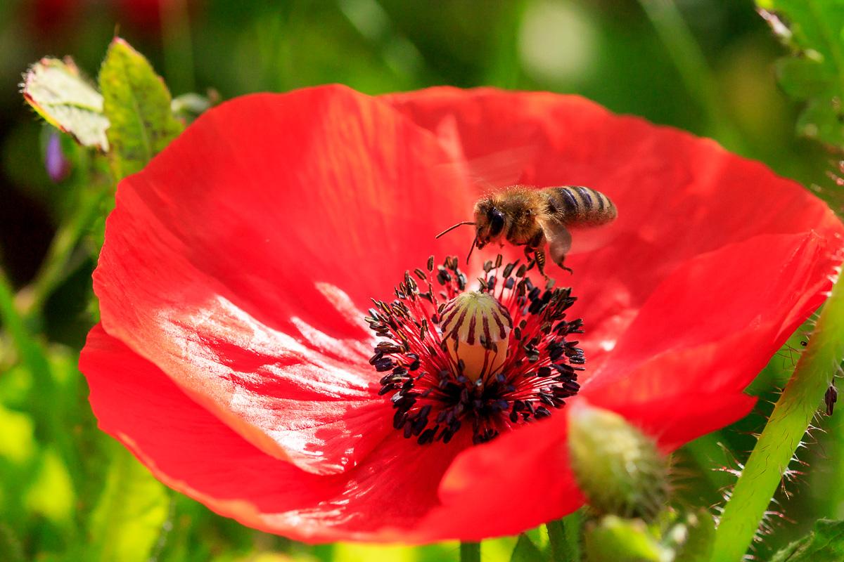 Biene auf Mohn, Bubenheim