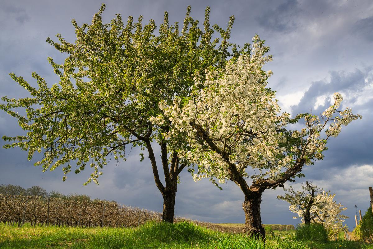 Obstbäume, Bubenheim