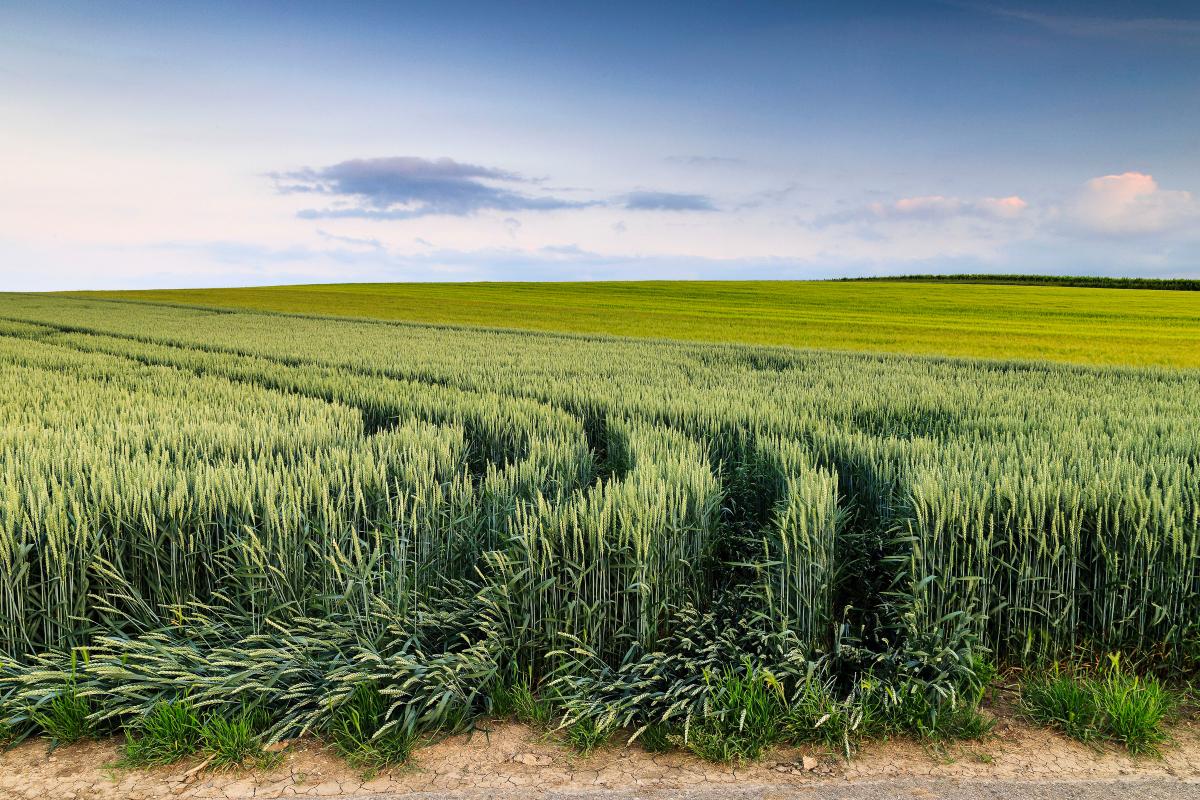 Autsch, Getreidefeld am Abend