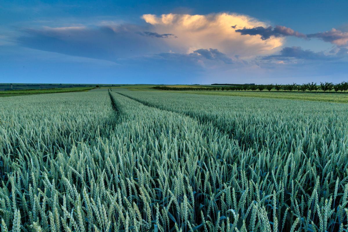 Gewitterwolke über dem Getreidefeld
