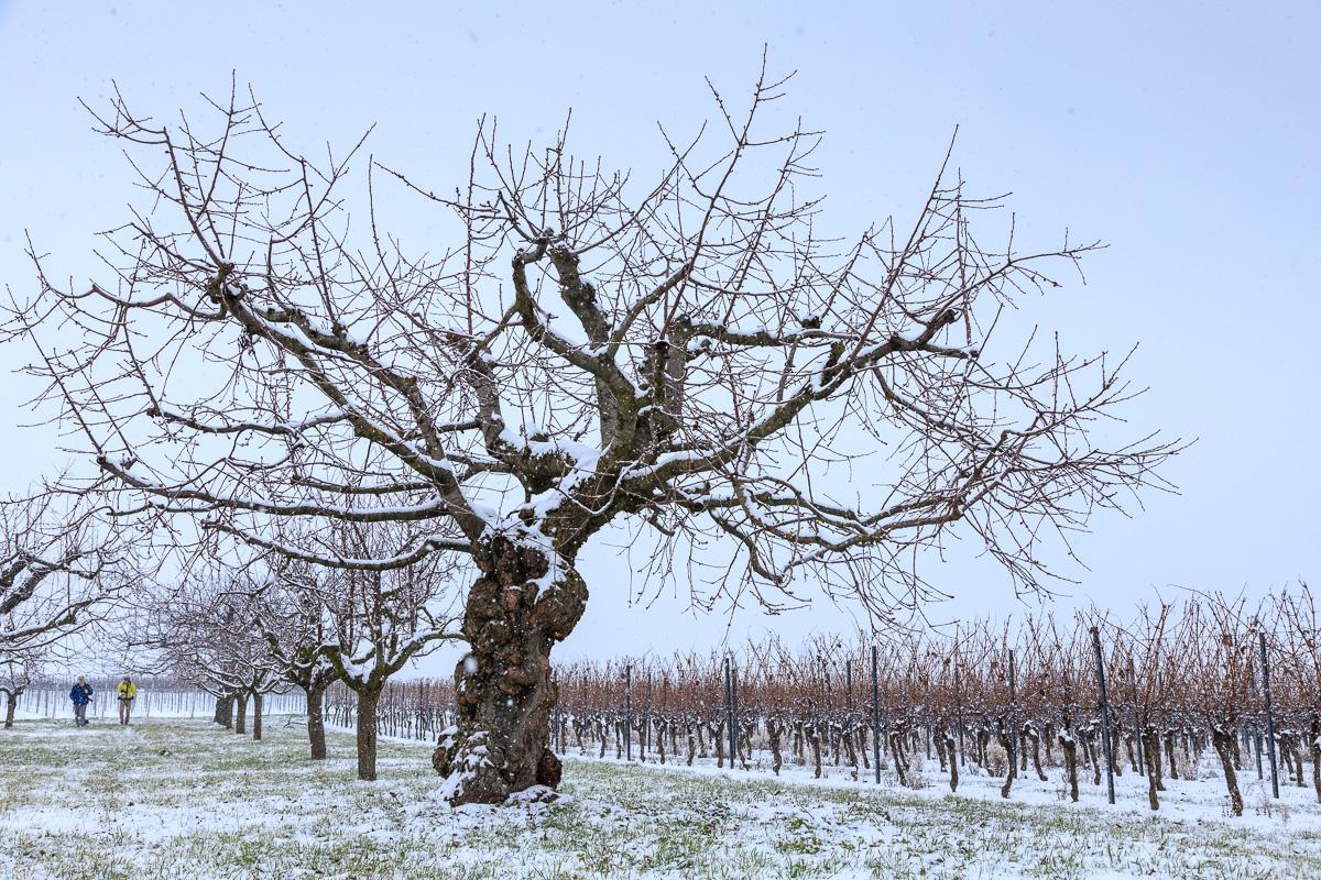 Kirschbaum im Winter
