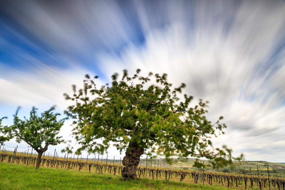 Eine Minute Sturm, Kirschbaum