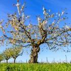 Kirschbaum im Frühjahr