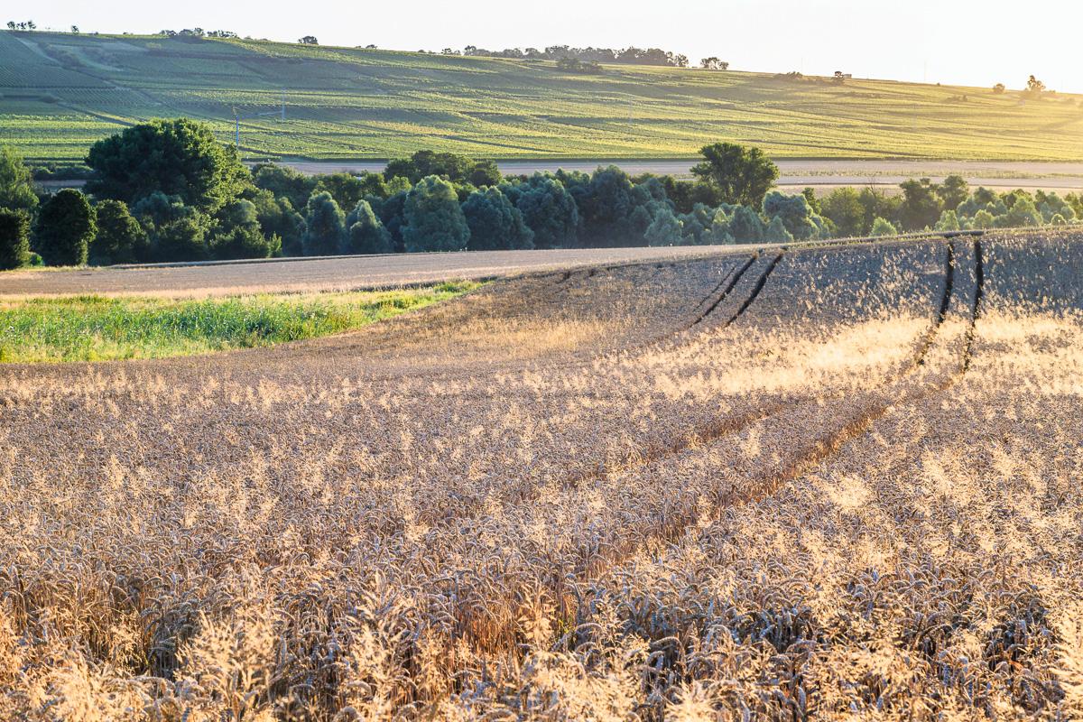 Getriedefeld am Morgen, Bubenheim